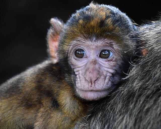 mládě opičky