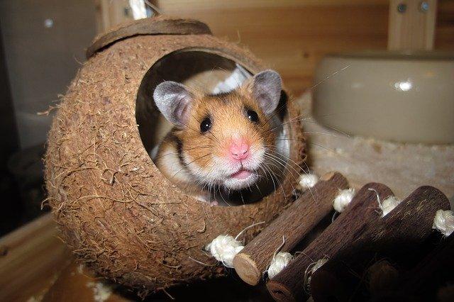 křeček v kokosovém ořechu