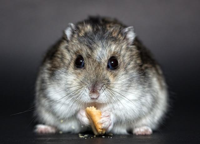 křeček se sušenkou