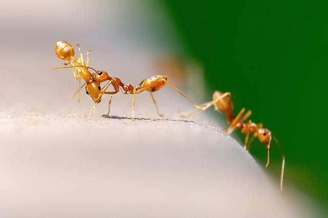 oranžový mravenci