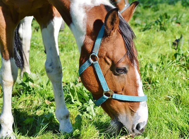 kůň na pastvě s ohlávkou
