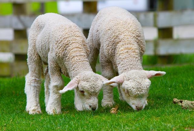 dvě malé ovečky na trávníku.jpg