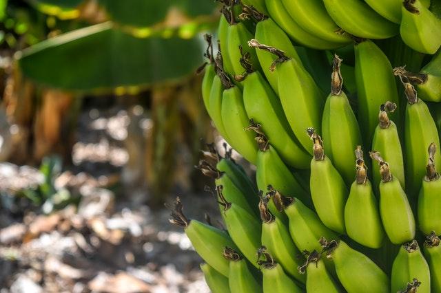 banánovník s dozrávajícími plody